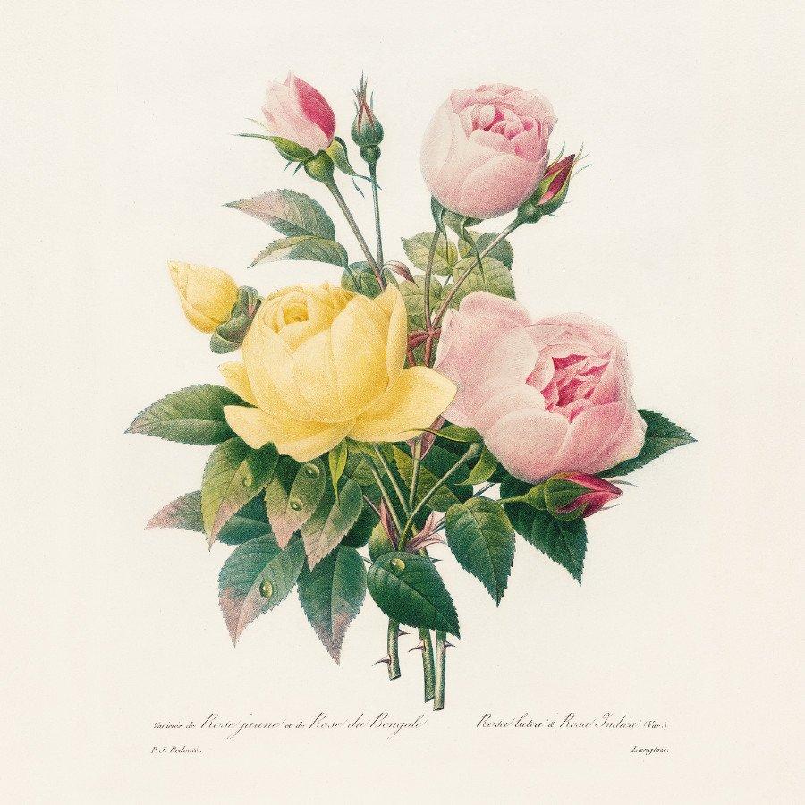 Blumenmalerei war der Blumen Trend der Stunde! Die Anmut einer Teerose hielt keiner so schön fest wie Pierre-Joseph Redouté © Taschen