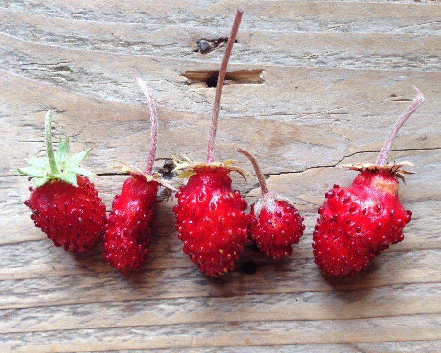 """Kein Vergleich zur Supermarkt-Erdbeere: die """"Baron von Solemacher"""" schmeckt nach dem feinen Aroma der Walderdbeere und trägt bis zu den ersten Frösten Früchte"""